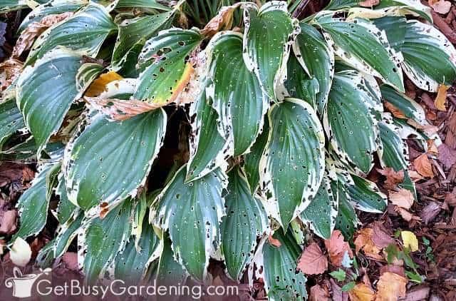 Slug damage on leaves of my hostas