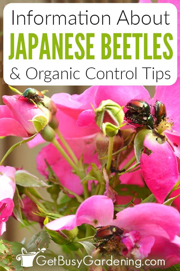 Information About Japanese Beetles & Organic Control Tips