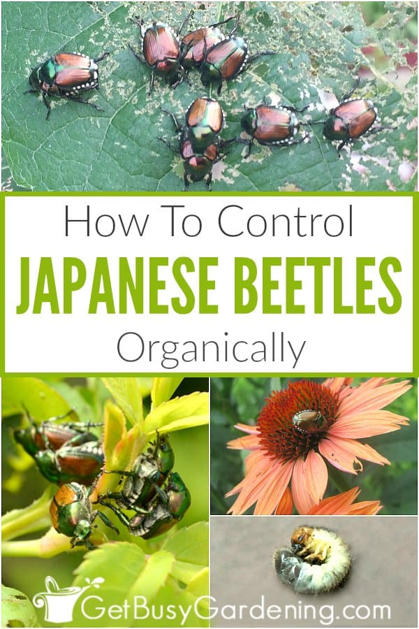 How To Control Japanese Beetles Organically