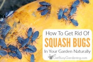 How To Get Rid Of Squash Bugs Naturally