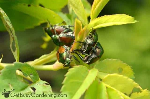 Japanese beetles mating and eating