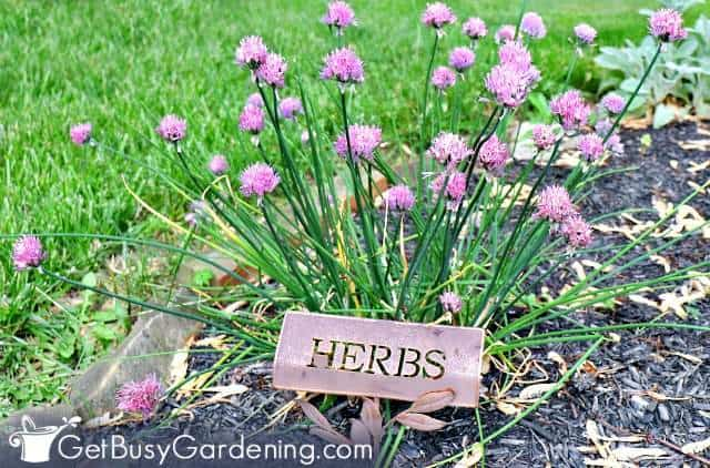 Chives are simple herbs to grow