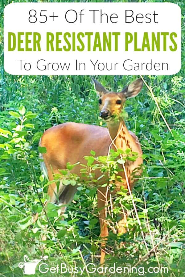 Building a fence around your yard isn't the only way to keep deer out. There are lots of beautiful plants that deer don't like to eat (plants with a strong odor or flavor, prickly or furry leaves, or ones that are toxic to deer.). Get my list of the best deer resistant plants for sun or shade, including annuals, flowers, shrubs, perennials, vegetables, and herbs for your garden. Also includes plants they love, so you know what to avoid. Plus get tips for repelling deer.