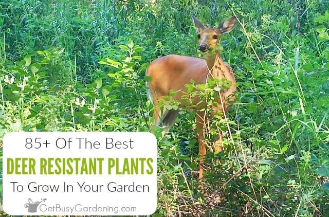 85+ Deer Resistant Plants For Your Garden