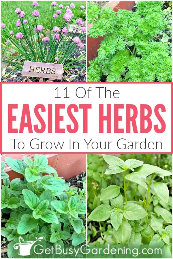 Choosing easy herbs to grow in your outdoor garden at home will give you a much better chance at success, and make it fun for you too. This list of easy-to-grow vegetables (cilantro, parsley, chives for example) will have you harvesting your very own garden-fresh herbs in no time. Includes simple care tips for water, soil, and sun. Once you get the hang of growing these easy herbs, then you'll have the confidence to grow any other type of herb plants that you want!