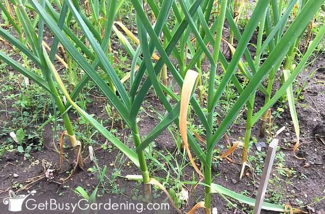 Garlic plants growing in my garden