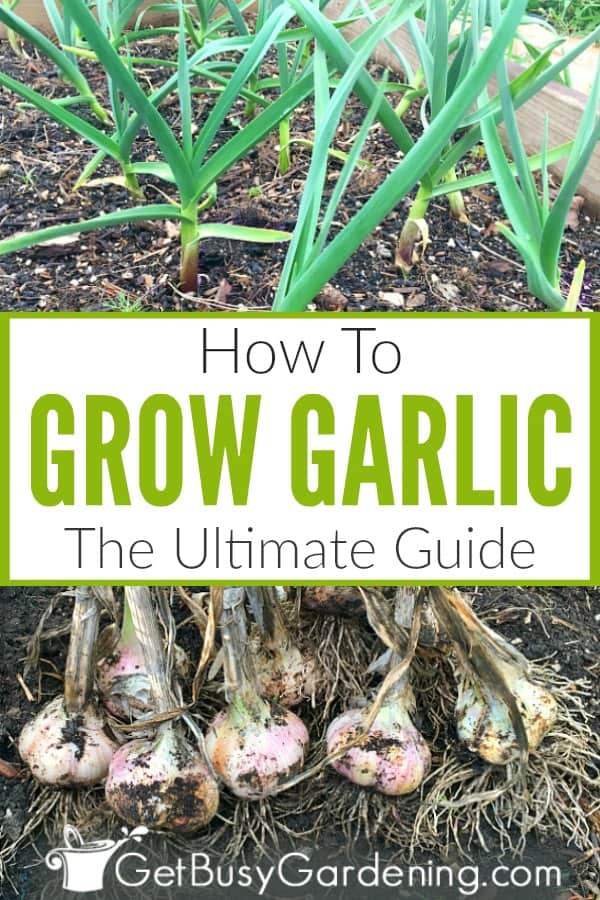 How To Grow Garlic - The Ultimate Guide