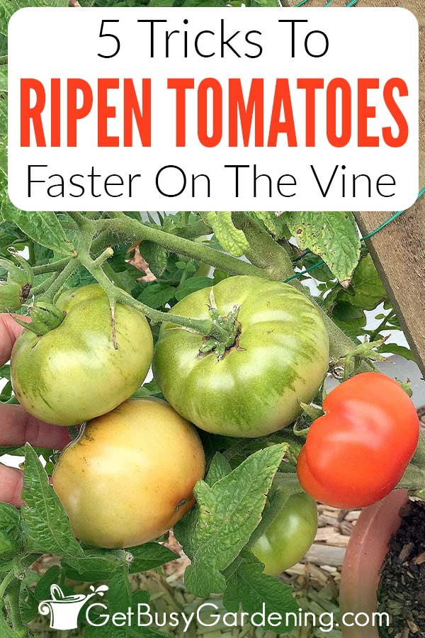 5 Tricks To Ripen Tomatoes Faster On The Vine