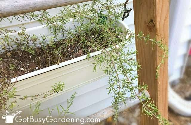 Creeping rosemary in a hanging planter