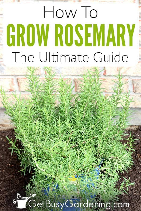 How To Grow Rosemary: The Ultimate Guide