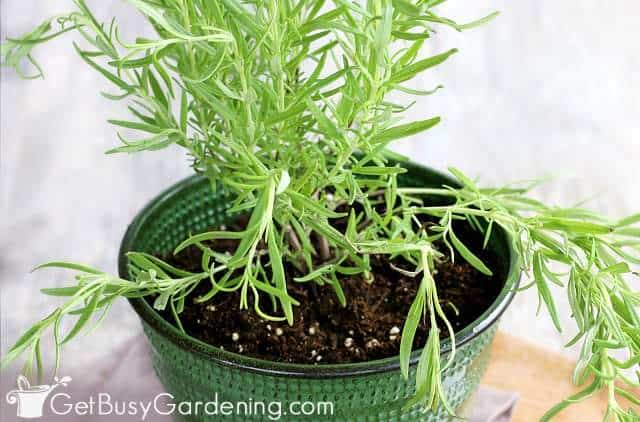 Rosemary planted in a pot