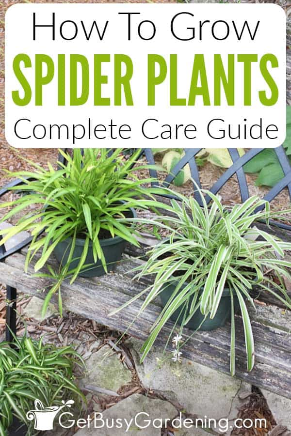 How To Grow Spider Plants: Complete Care Guide