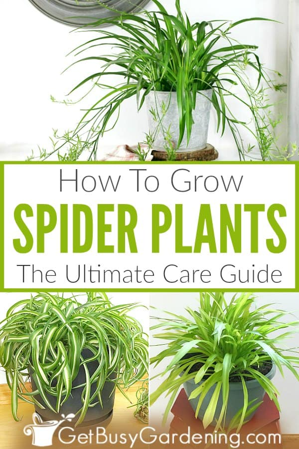How To Grow Spider Plants The Ultimate Care Guide