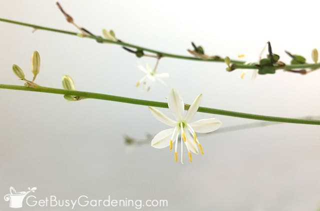 Spider plant flowers and buds
