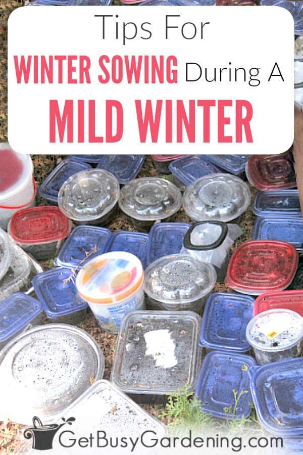 Winter sown seeds can germinate prematurely during a mild winter. But, as long as you take steps to protect them, and keep them cold, then you don't have to worry. Try these tips to help prevent your containers from sprouting too early during a mid-winter heatwave.