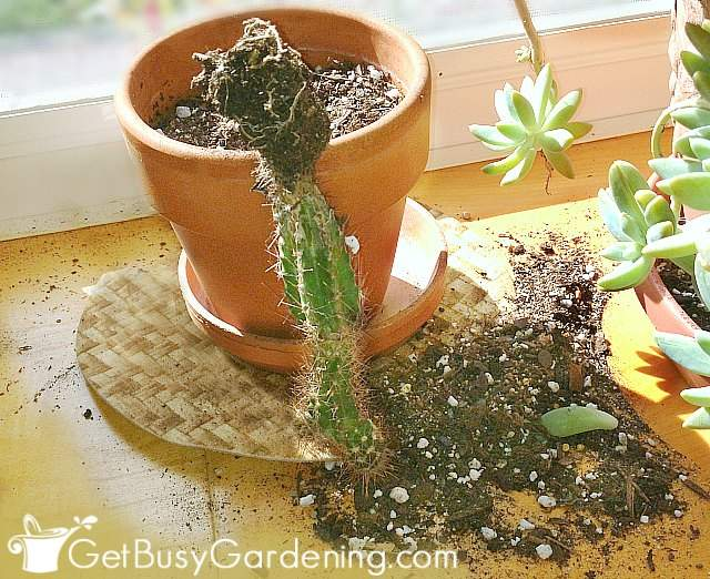 Cactus pulled out of pot by my kitten