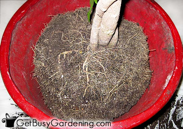 Cut back roots on large pot-bound indoor plant