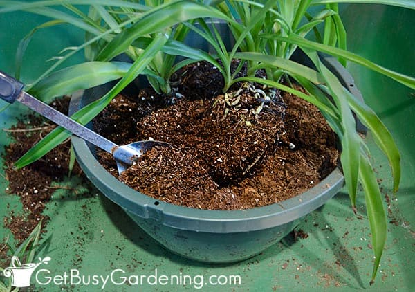 Filling rest of pot with fresh soil