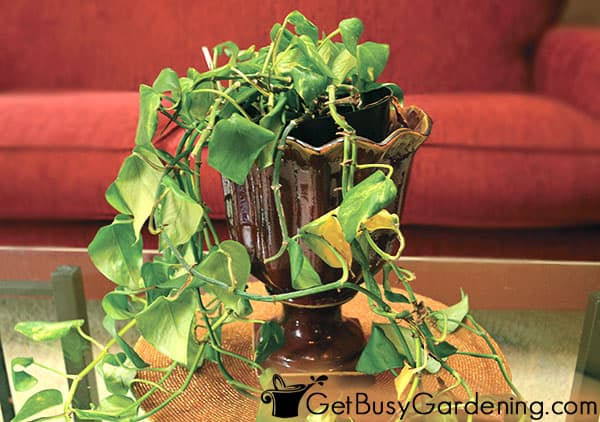 Indoor plant drooping due to under watering