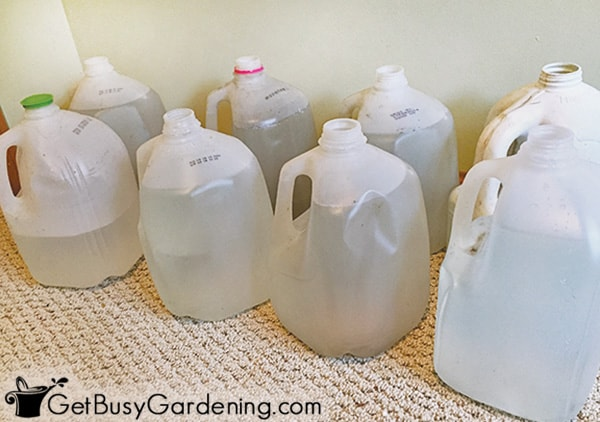 Jugs filled with water for houseplants