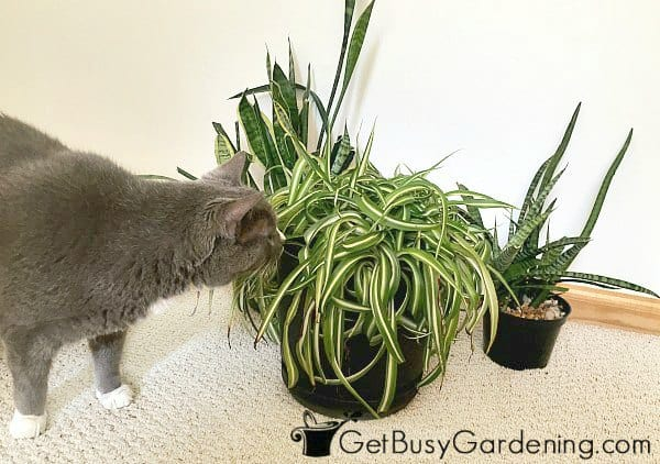 My cat trying to eat my houseplants