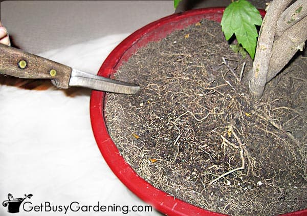 Pruning roots before repotting large a houseplant