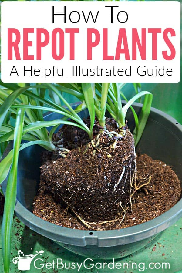 Repotting is beneficial for indoor plants that are root-bound, and an important part of keeping them healthy and happy. But you should only repot houseplants at the right time, and for the right reasons, because it is very stressful for them. Learn all there is to know about how to repot indoor plants, including when and how often, tips for the best planters and soil to use, avoiding transplant shock, detailed step-by-step repotting instructions, and much more!