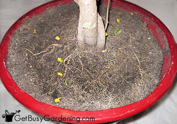 Roots growing on top of the soil of a pot-bound plant