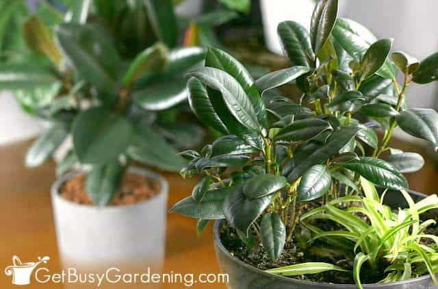 Dwarf rubber plant growing in a mixed container