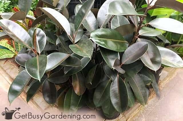 Ficus elastica rubber tree plants