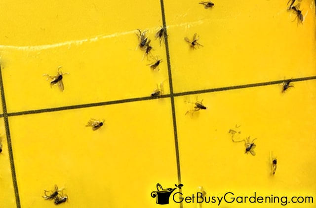 Fungus gnats from my houseplants