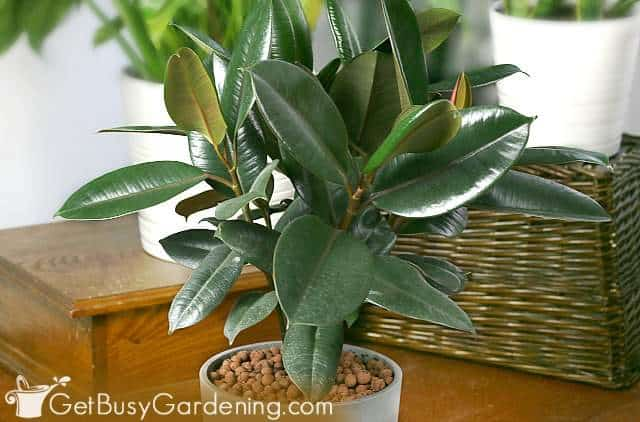 Rubber plant growing indoors as a houseplant
