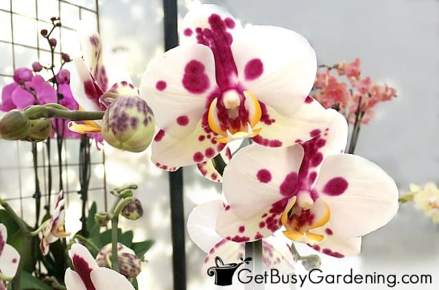 White orchid flowers with purple spots