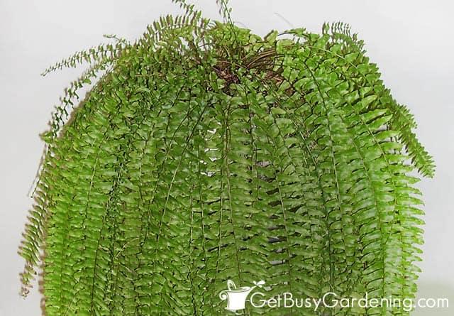 Boston fern houseplant