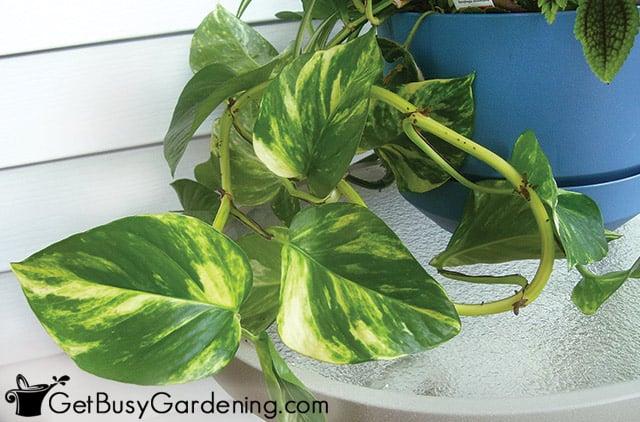 Golden pothos houseplant