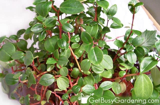 Peperomia indoor plant