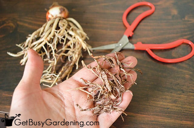 Trimming dead roots from amaryllis bulbs