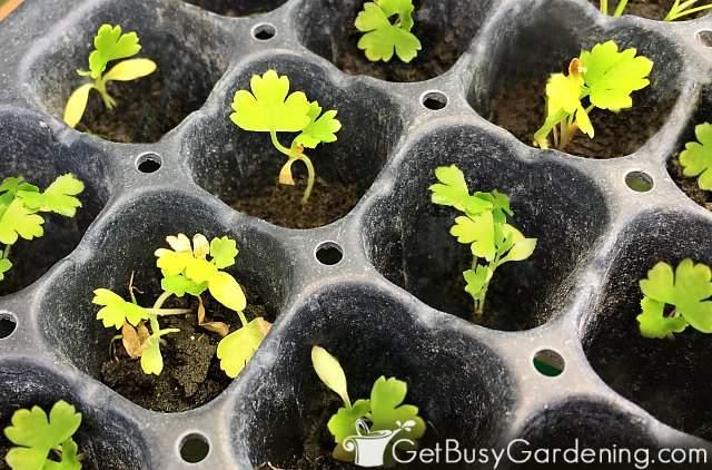 Baby parsley seedlings germinating