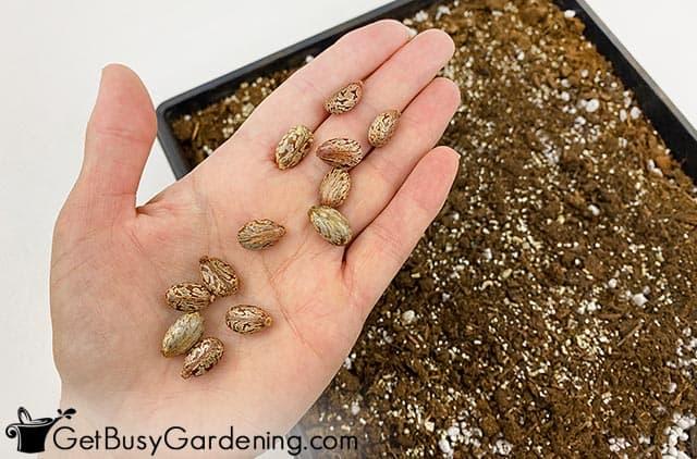 Castor bean seeds in my hand