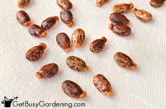 Castor bean seeds after soaking