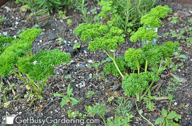 Curly parsley seedlings in the garden