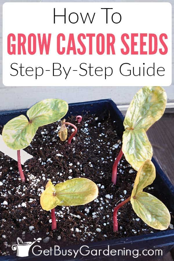 How To Grow Castor Seeds: Step-By-Step Guide