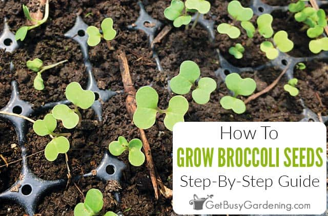 How To Grow Broccoli From Seed: Step-By-Step