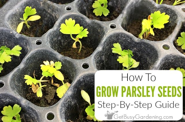 How To Grow Parsley From Seed: Step-By-Step