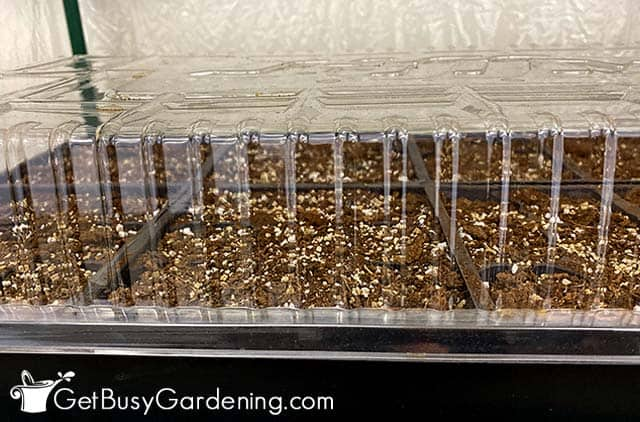 Lid placed on tray after sowing pepper seeds