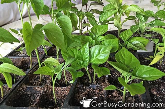 Pepper seedlings growing indoors