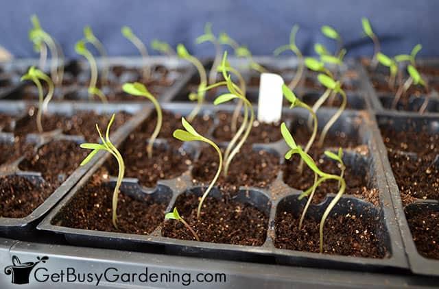 Pepper seedlings reaching for the light