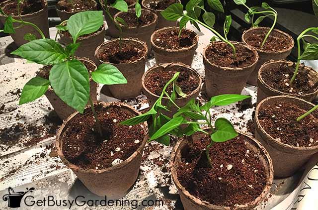 Potting up pepper seedlings