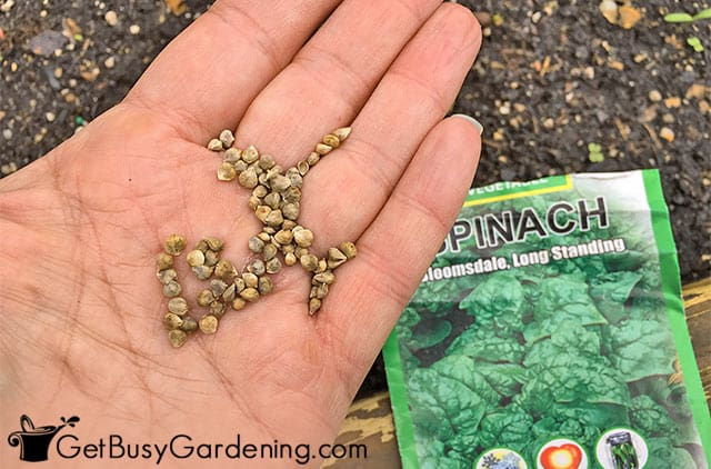 Spinach seeds in my hand