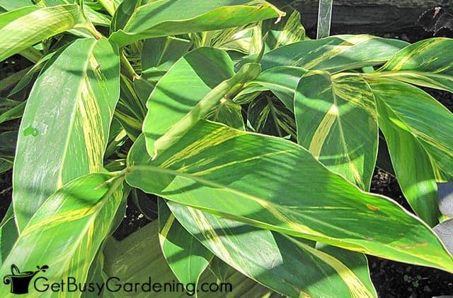 Variegated ginger plant
